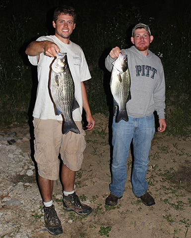 big hybird stripped bass caught on alewife are night in late spring