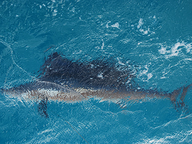 Big Sailfish Caught in Florida