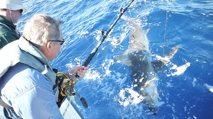 large dusky shark caught on a steel cable shark rig