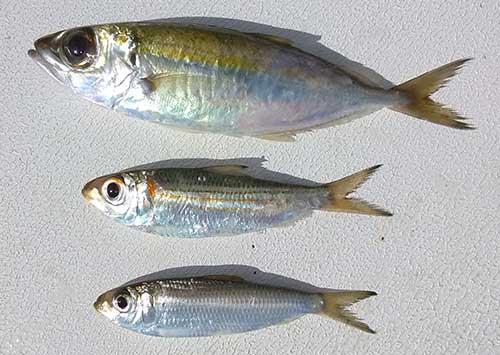 pilchard herring and goggle eye for shark bait
