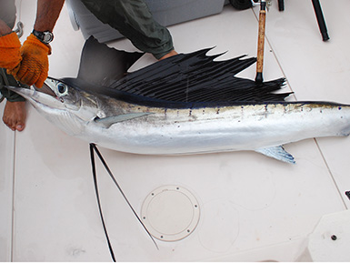 Sailfish caught in Flordia (Atlantic Ocean)