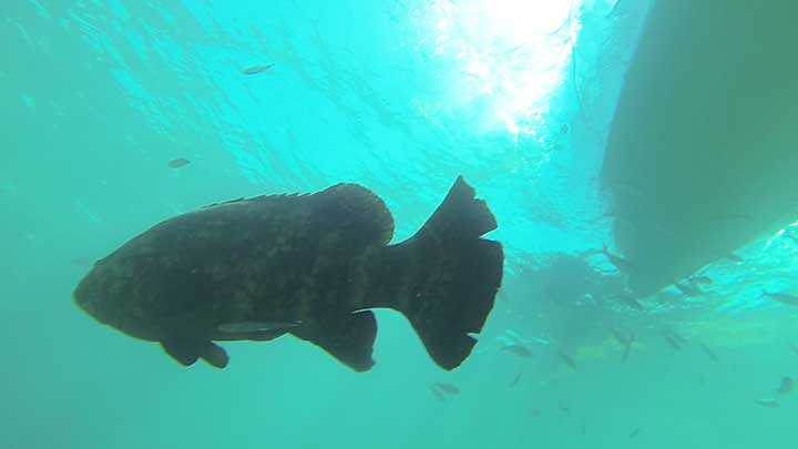 scuba diving with goliath groupers