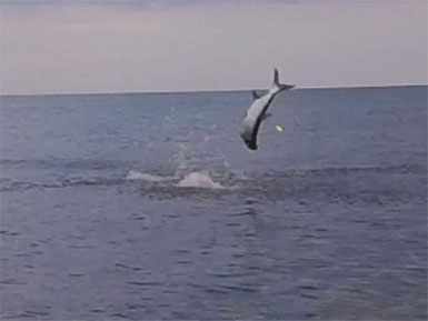 Bowing to a Tarpon as it Jumps