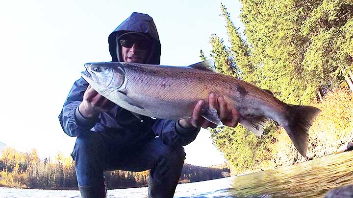 female silver salmon or female coho salmon