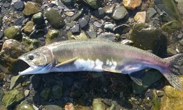 small female pink salmon