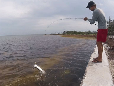 Tarpon Jumping While Fishing