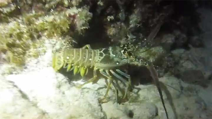 lobster found while scuba diving at night