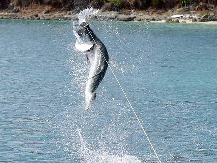 huge tarpon jumping out of the water with tarpon bait