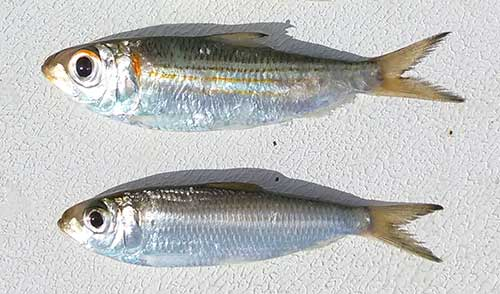 live tarpon bait pilchards herring and sardines