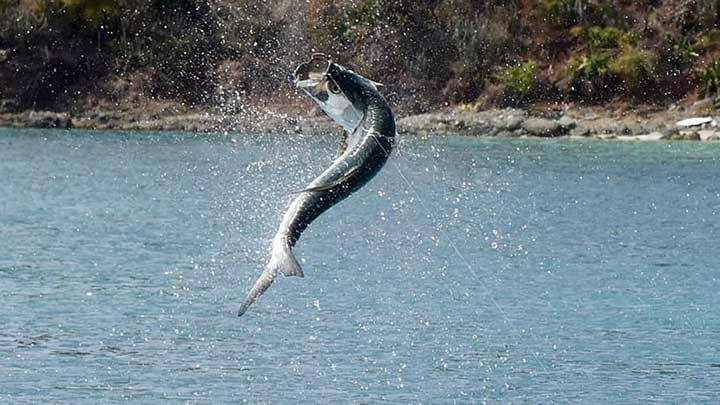 tarpon jumping while fishing with tarpon bait