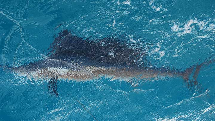 big-sailfish-caught-on-live-bait