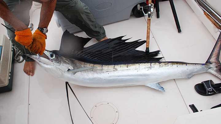 big-sailfish-caught-on-the-best-lure