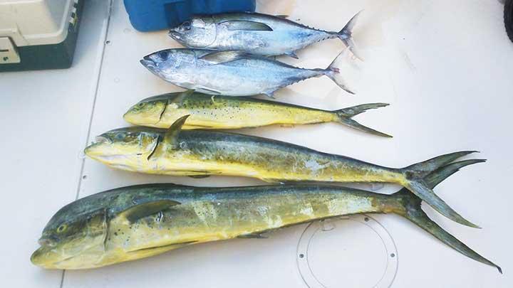 mahi mahi caught fishing in florida