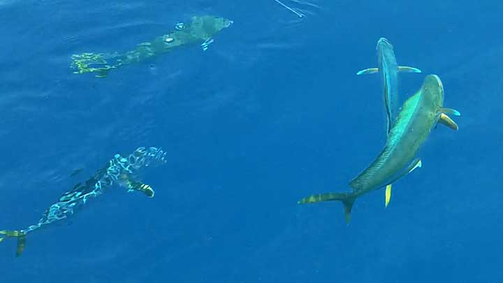 school of mahi found while fishing offshore