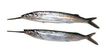 ballyhoo cut bait for tripletail bait