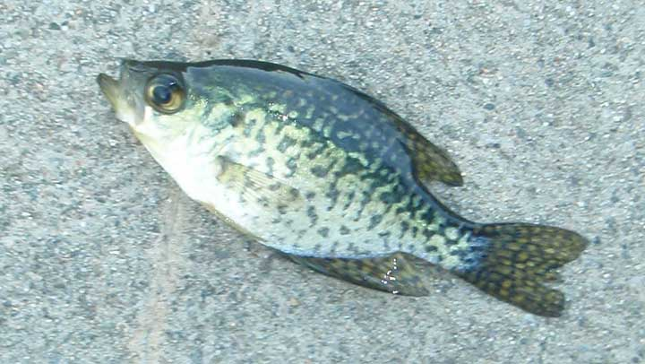 crappie caught near structure in a small lake