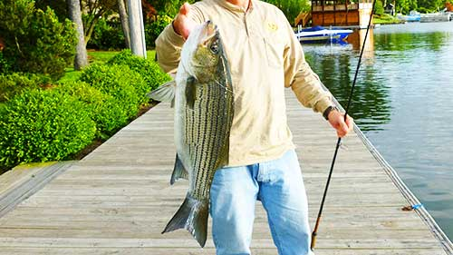 hybrid striped bass post
