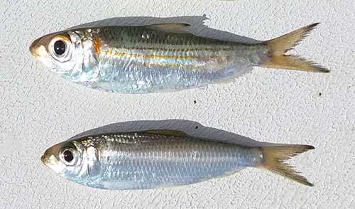 live-tripletail-bait-pilchards-small-bait
