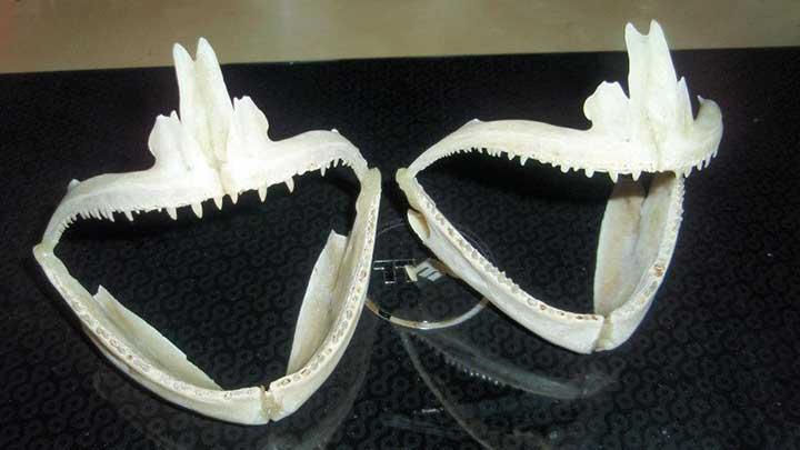 bluefish jaws and teeth