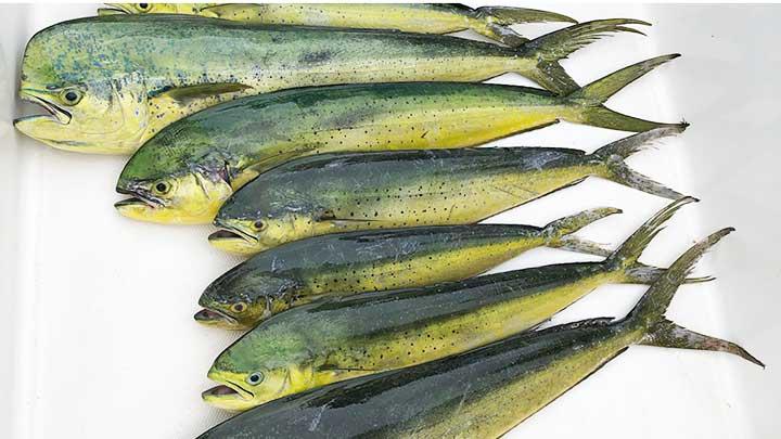 mahi mahi caught on mahi lures and bait
