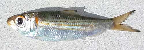 Scaled Sardines or Threadfin Herring
