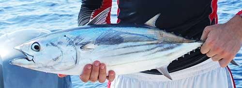 bonito skipjack tuna