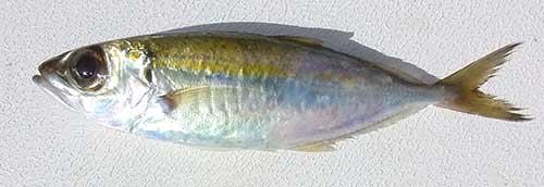 goggle eye baitfish