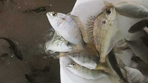 live pinfish for bait in livewell