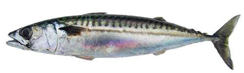 mackerel baitfish