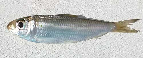 pilchard identification picture