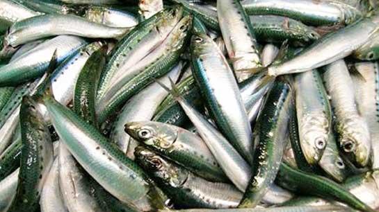 sardines for bait