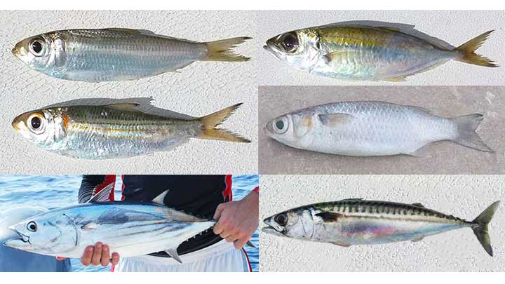 types of baitfish freshwater and saltwater