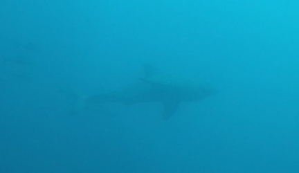 Great White Shark In the Flordia Keys While Diving!