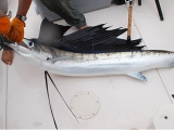 Best Sailfish Lures